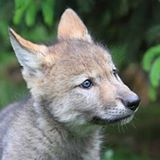 Wolf Camp 2016 with Wolf Puppies @ Wildlife Science Center | Wyoming | Minnesota | United States